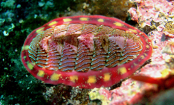 gumboot chiton snail