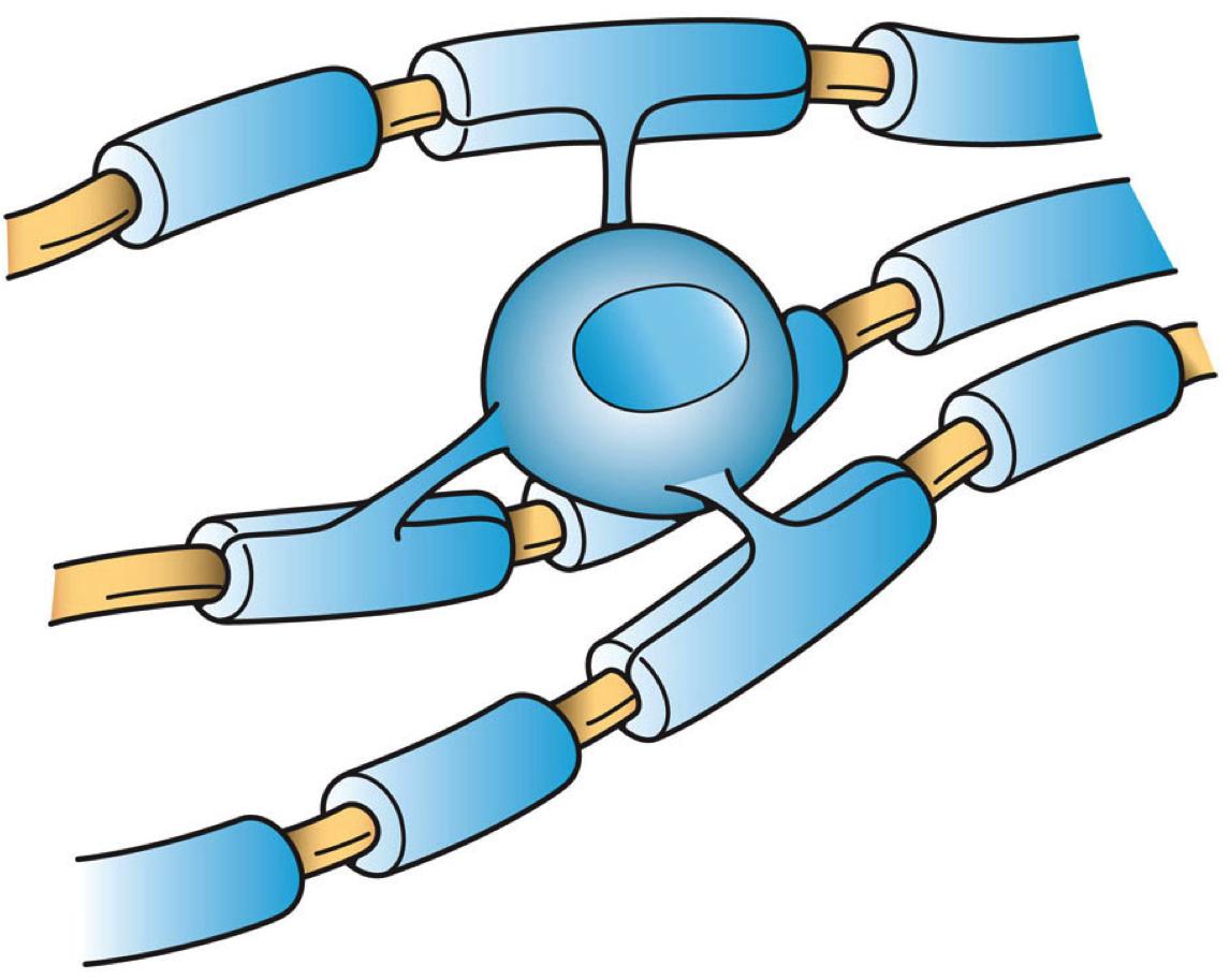 myelin multiple sclerosis oligodendrocyte
