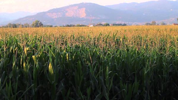 fields of corn 1