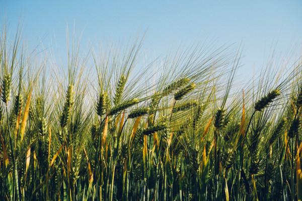wheatpotash